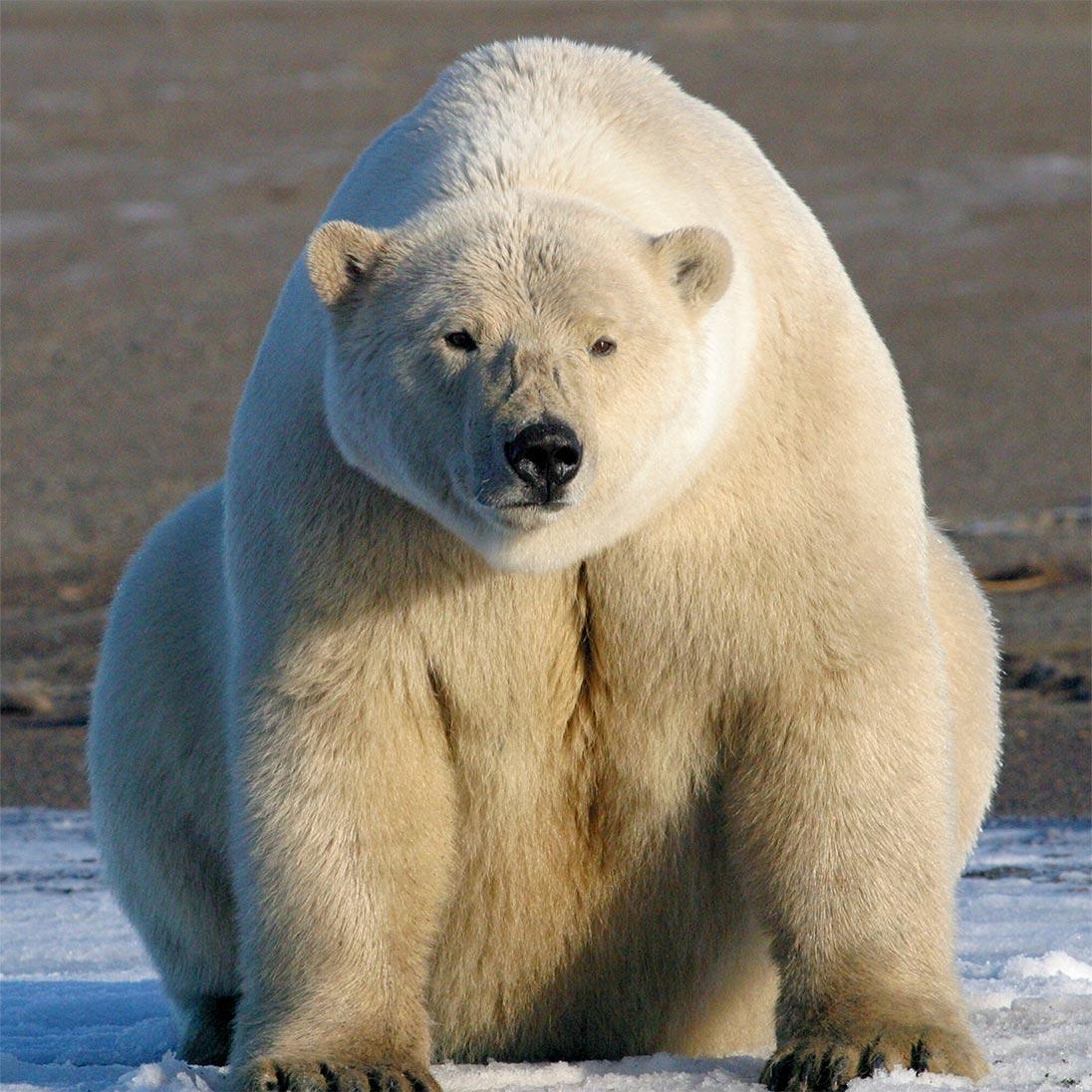 Canadese ijsberenbiologe